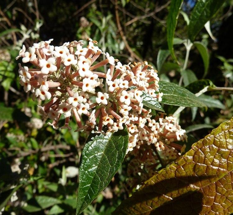 Buddleia auriculata