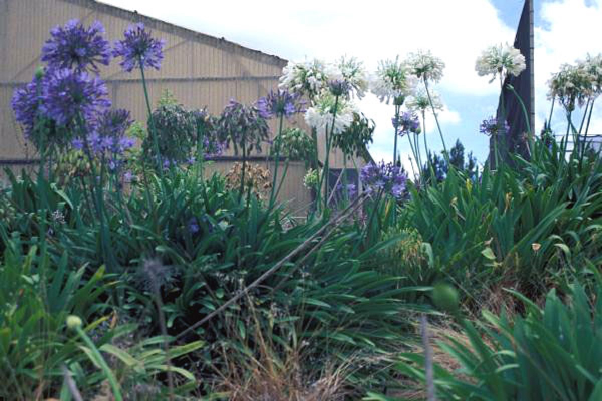 Agapanto meravigliosa pianta dai fiori blu che viene dall'Africa
