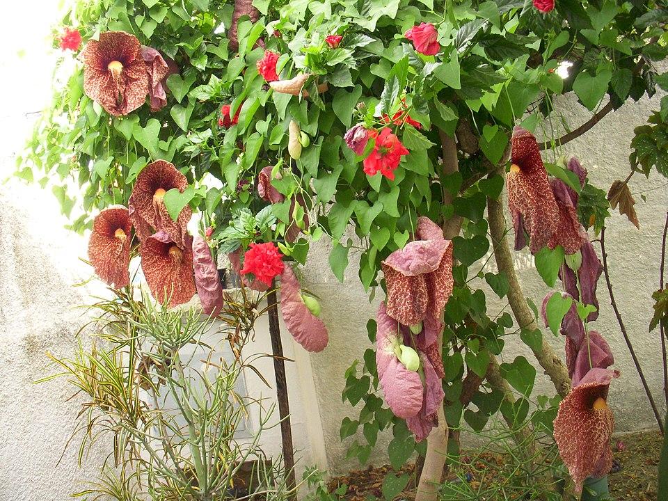 L'Aristolochia pianta rampicante con i fiori che intrappolano gli insetti