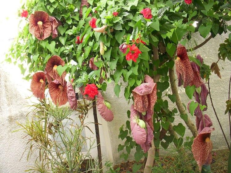 Aristolochia gigantea in Brasile