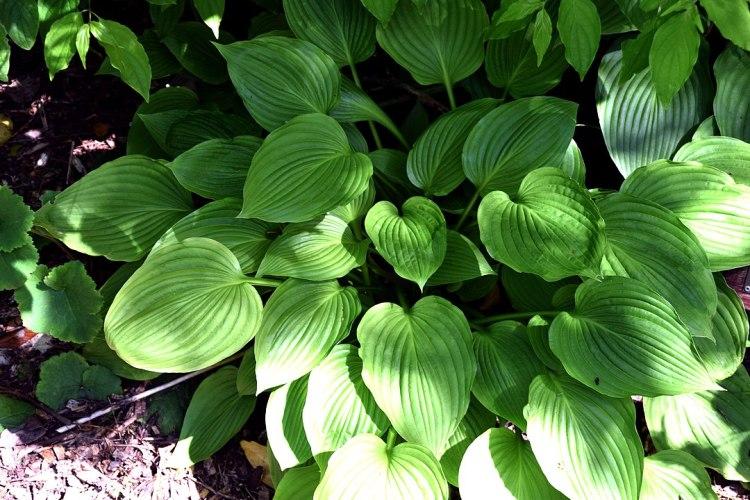 Hosta montana a Dunedin Botanic Garden, Dunedin, Nuova Zelanda
