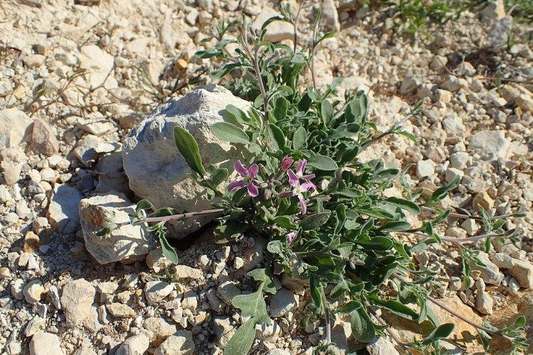 Violacciocca-   Matthiola longipetalaa Pietra Ramiou, Cipro