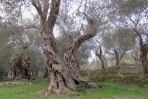 Olive Trees in Ulcinj, Montenegro - by Anika Mikkelson - Miss Maps - www.MissMaps.com