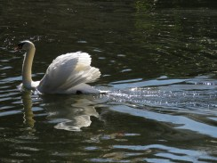 Another Beautiful Swan Swimming in St. James's Park outside Buckingham Palace - London, England, United Kingdom - by Anika Mikkelson - Miss Maps