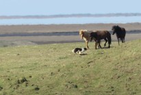 Who's winning - horse or dog - Iceland - by Anika Mikkelson - Miss Maps - www.MissMaps.com