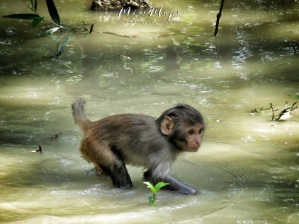 Baby Monkey Wading in the waters - Sundarbans near Mongla Bangladesh - by Anika Mikkelson - Miss Maps - www.MissMaps.com