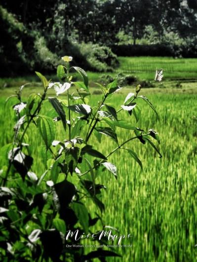 Floating Butterfly at the Tea Garden - Sylhet Bangladesh - by Anika Mikkelson - Miss Maps - www.MissMaps.com
