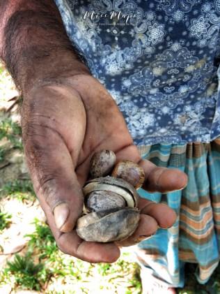 Rubber Tree Seeds - Sylhet Tea Garden - Bangladesh - by Anika Mikkelson - Miss Maps - www.MissMaps.com