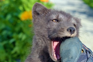Arctic fox in Heydalur