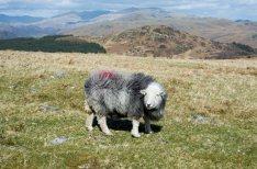 Herdwick sheep, Lake District