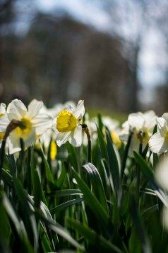 Narcissus, Keukenhof Gardens