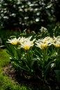 White tulips, Keukenhof Gardens