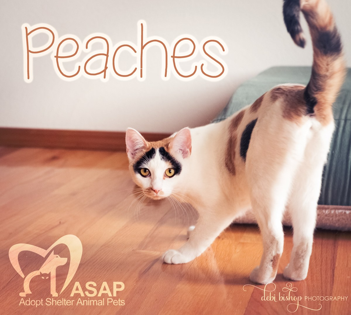 Peaches the Cat Up for Adoption