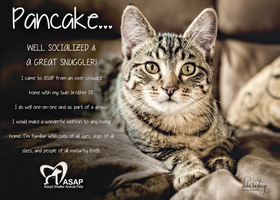 Tabby Kitten up for adoption through ASAP.