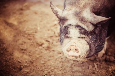 Pot bellied pig with smushed eyes