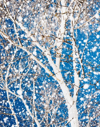 Birch trees and falling snow