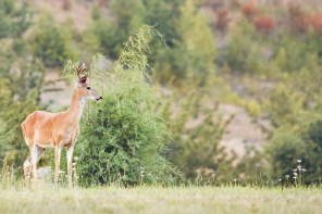 White-tailed deer in Montana forest