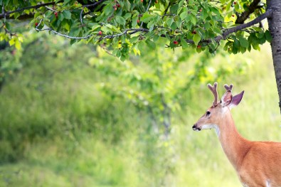 White-tailed deer in a cherry orchard