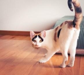 Beautiful calico cat