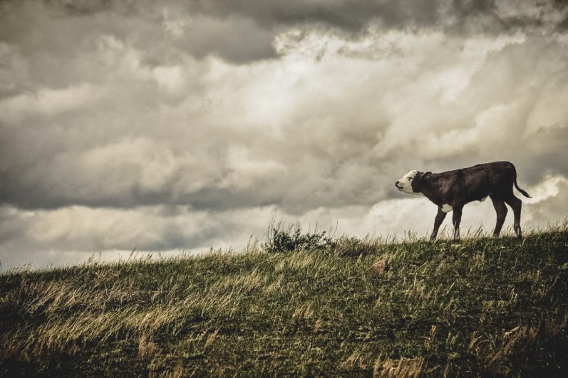 A lonesome calf atop a windy hill on a Montana ranch