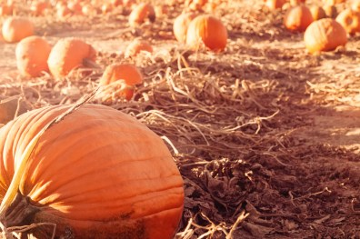 Pretty pumpkins on the ground ready for harvest