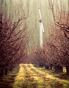 An apple orchard on a spring day in eastern Washington state.
