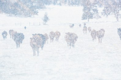 A herd of cattle in a winter blizzard.
