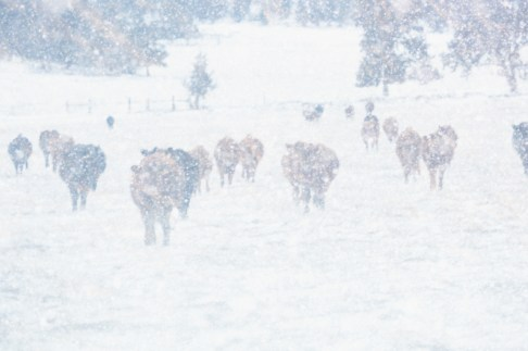 A herd of cattle in a winter blizzard.
