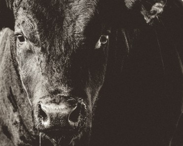 Black Angus bull portrait.