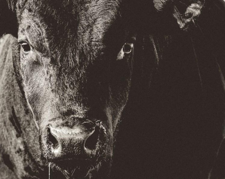Black Angus bull portrait.