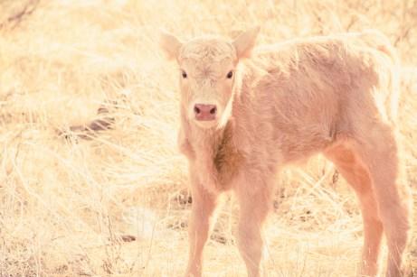 Newborn Charolais calf