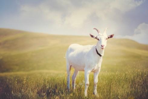 White goat standing on grassy hills