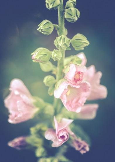 Pink hollyhocks in summer garden