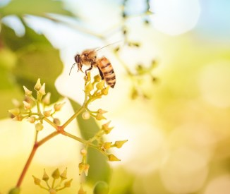 Honeybee gathering nectar in summer sunshine