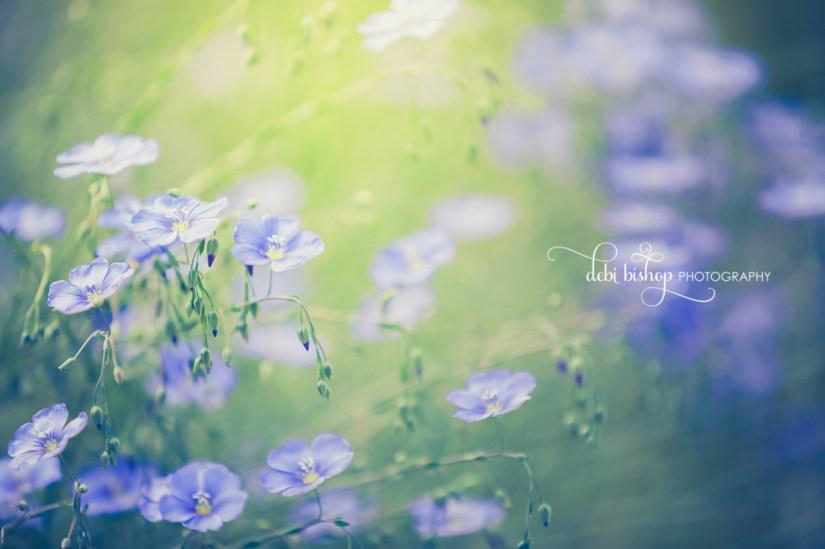 Dreamy flax in the flower garden.