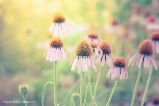 Purple coneflower in summer sunshine.