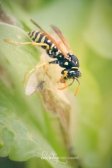 Wasp eating from plant leaf