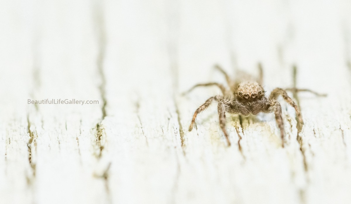 Stare down with a jumping spider