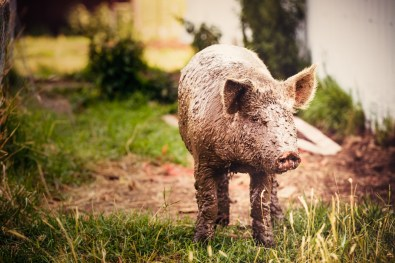 A very dirty pig, covered in mud, but still very cute