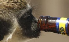 African Safari Animals Drunk Off Their Asses