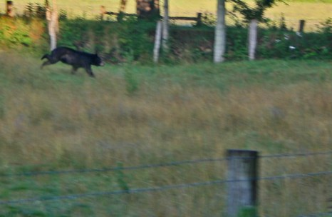 black bear on the run