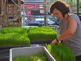 cutting wheatgrass