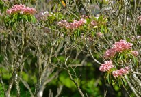 shrubs of pink buds