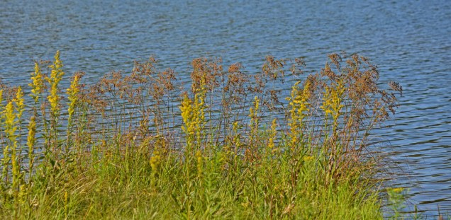goldenrod by the lake