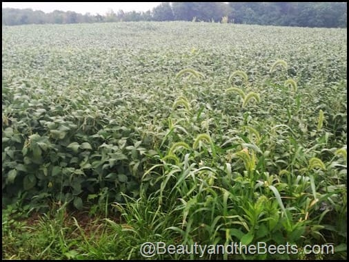 Soy Bean field in Indiana