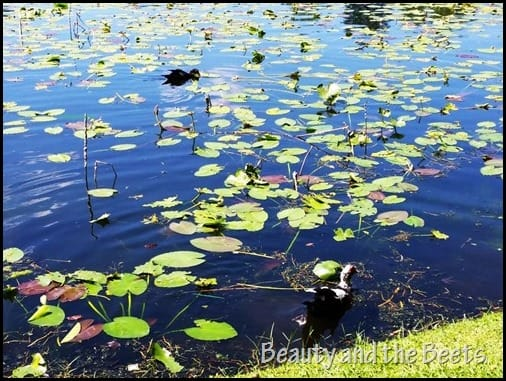 Lake Lily 1 Beauty and the Beets