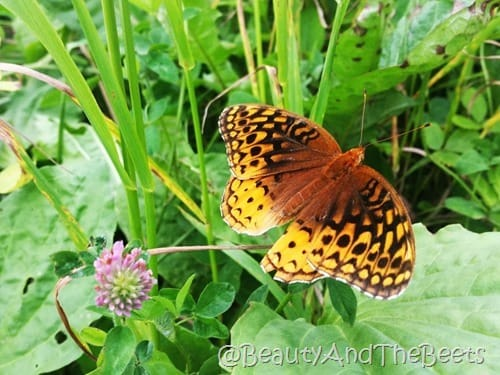 Butterfly Clingmans Dome Beauty and the Beets
