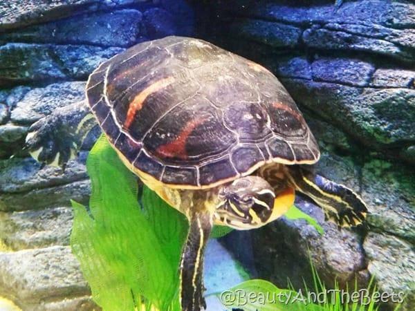 Black Sea Turtle Sea Life Orlando Beauty and the Beets