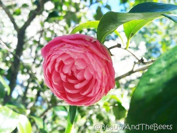 Magnolia Plantation Gardens Beauty and the Beets (1)