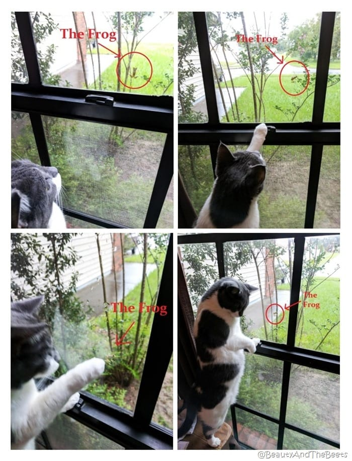 a collage of Charloote, the gray and white cat interacting with a tiny gron in a window